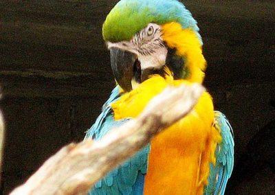 AMAZON  MACAW